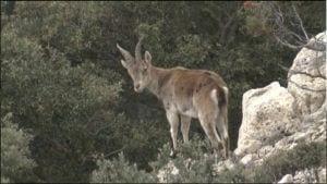 La població de Capra pyrenaica amenaçada pel brot de sarna