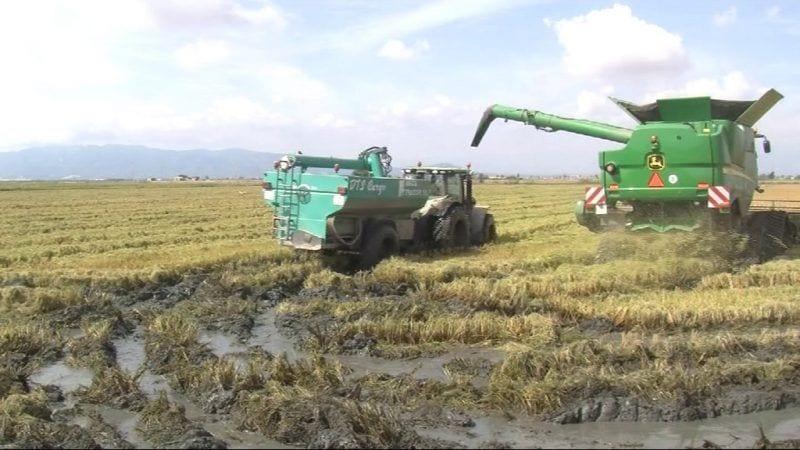 Imatge d'un camp d'arròs al Delta
