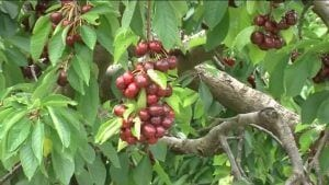 Fruita dolça Ribera d'Ebre
