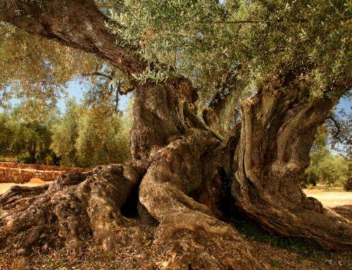 Junts per Ulldecona i Barris celebra la iniciativa del Parlament per protegir les oliveres mil·lenàries