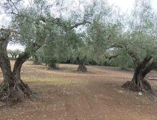 La sequera acumulada tornarà a reduir a la meitat la producció d'oli al Baix Ebre i el Montsià