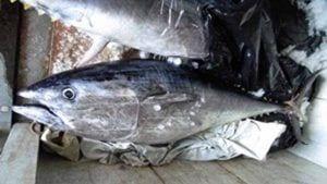 Una de les tonyines confiscades / DARP