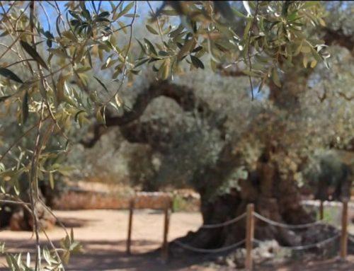 SOS de la plataforma 'Salvem lo Montsià' davant l'augment de l'expoli d'oliveres mil·lenàries