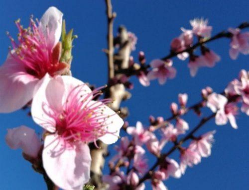 Floració a la Ribera d'Ebre