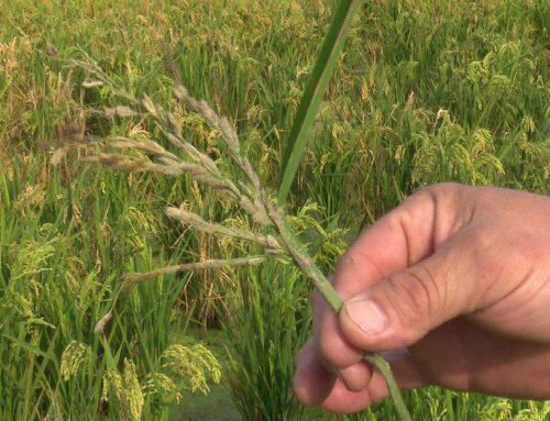 Els pagesos reclamen mesures pal·liar per les destrosses que han causat els ànecs als arrossars