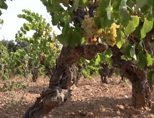 El DARP executa el pagament de la bestreta per la reestructuració de la vinya