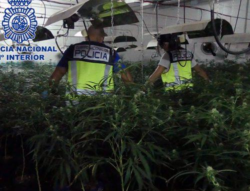 Desarticulen una banda dedicada al cultiu de marihuana a les Terres de l'Ebre