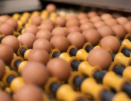 L'empresa Ous Roig fa un salt qualitatiu en la producció d'ous ecològics