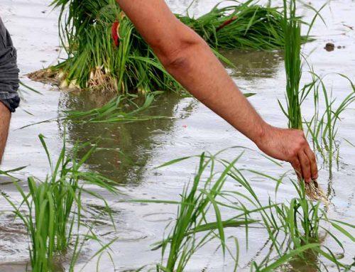La Unió Europea aplica un aranzel a l'arròs asiàtic