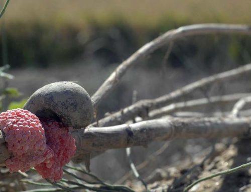 Agricultura fa efectiu el pagament contra el cargol poma