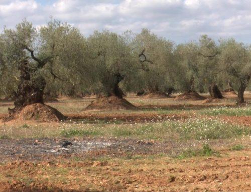 Baixa la producció d'oli d'oliveres mil·lenàries durant el 2018