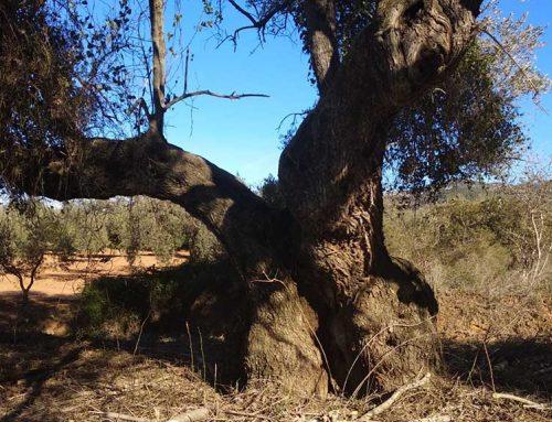 Continua l'espoli d'oliveres mil·lenàries, ara a Godall
