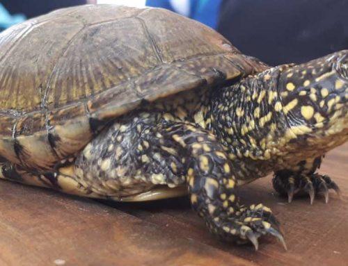 Desperten de la hivernada les tortugues d'estany a l'Aula Plegadis