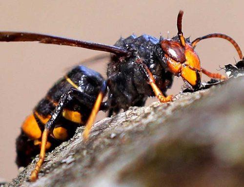 Possible cas de detecció de vespa asiàtica a Roquetes