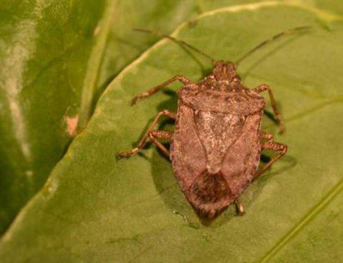 Nova espècie invasora, que amenaça a les Terres de l'Ebre
