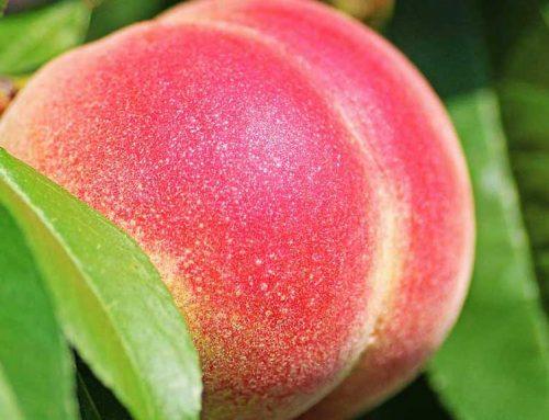 Unió de Pagesos aconsegueix la principal demanda del sindicat contra la crisi de la fruita dolça