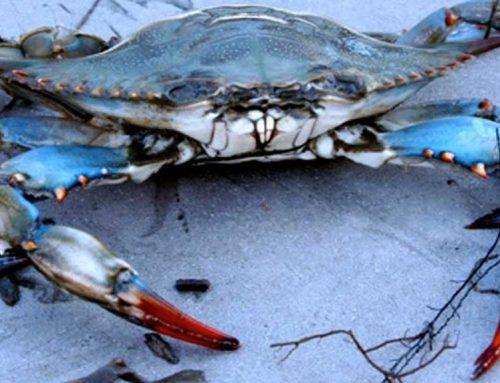 ESPÈCIE INVASORA: El cranc blau s'expandeix fora del territori ebrenc!