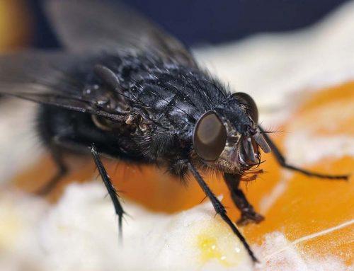 """Pallarés, """"fart"""" de la mosca negra"""