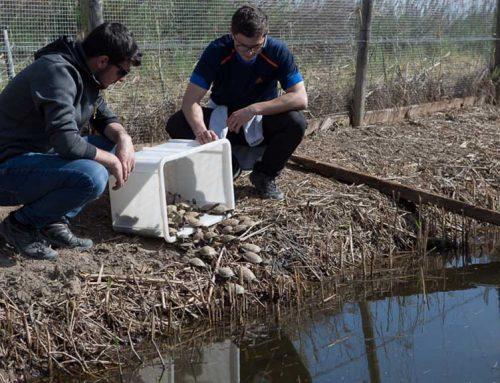 Alliberen una cinquantena de tortugues d'estany al Parc Natural del Delta de l'Ebre