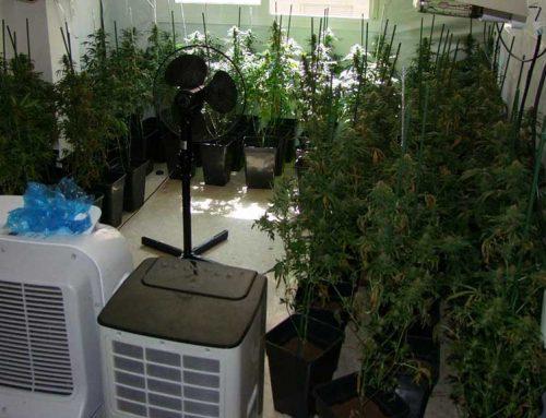 ATENCIÓ: Els Mossos d'Esquadra desmantellen una altra plantació de marihuana a Amposta