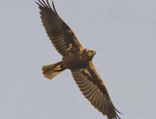 MOLT BONA NOTICIA: L'arpella comuna torna a criar al Parc Natural del Delta de l'Ebre després de 40 anys