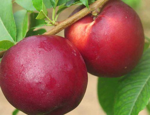 ALERTA: Unió de Pagesos denúncia que l'onada de calor descendiran la producció de fruita dolça a la Ribera d'Ebre
