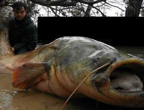 """ATENCIÓ: Pescat un """"monstre"""" de silur aigües amunt de Mequinensa"""
