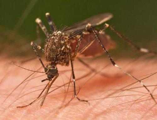 Les pluges de l'agost provocarà un augment de mosquits i mosca negra
