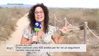 Neixen 2.200 polls de flamenc al Delta de l'Ebre