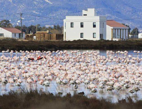 Segon rècord històric de parelles reproductores de flamenc rosat al delta de l'Ebre