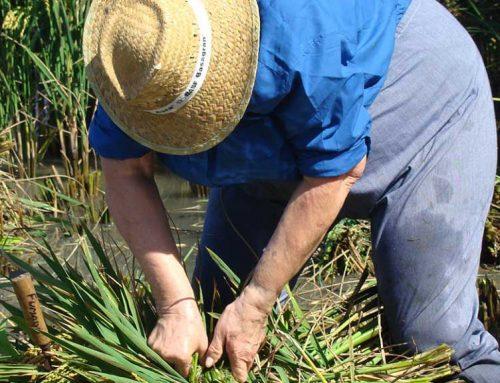 Els productors d'arròs del delta de l'Ebre esperen repetir una collita excel·lent en qualitat i quantitat