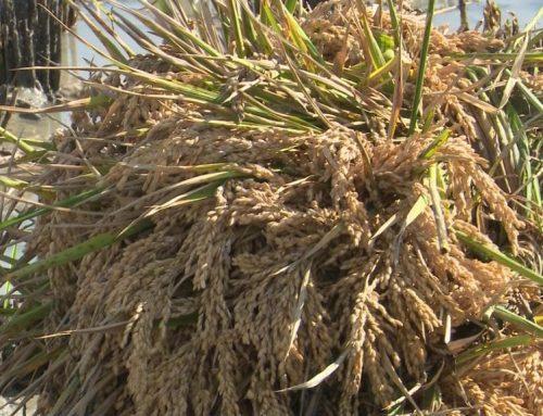 Amposta tanca les festes tradicionals de la sega de l'arròs