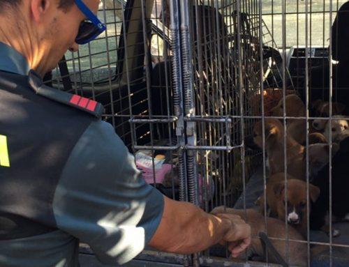 Agents del Seprona rescaten dues gosses i onze cadells famèlics a Jesús