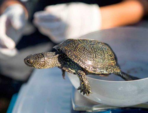 El Parc Natural del Delta de l'Ebre allibera una cinquantena de tortugues d'estany