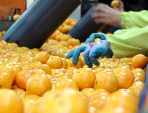 Una forta baixada de producció i un esperat increment de preu, així s'inicia la campanya citrícola