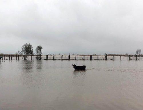 El ramader Pedro Fumadó rescata un centenar de bous atrapats per les inundacions al delta de l'Ebre