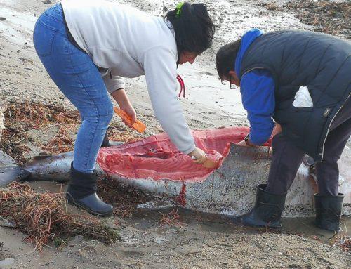 El temporal llança desenes de tonyines mortes a les platges de l'Ampolla i l'Ametlla de Mar