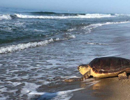 Més de 100 tortugues capturades per error alliberades al Delta de l'Ebre