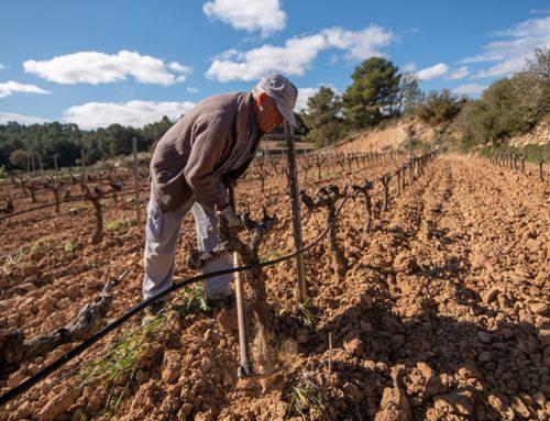 Unió de Pagesos vol que Agricultura assumeixi els compromisos amb els viticultors afectats pel cop de calor de 2019