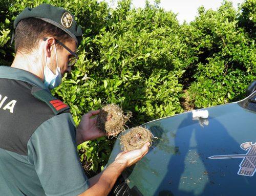 Denunciats dos veïns de Tortosa per expoliar nius de caderneres i verderols