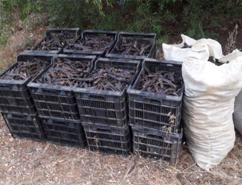 Unió de Pagesos denuncia la ineficàcia del Govern a l'hora d'evitar els robatoris de garrofa