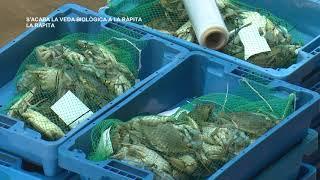 La confraria de La Ràpita recupera el 100% de l'activitat després de dos mesos de veda biològica