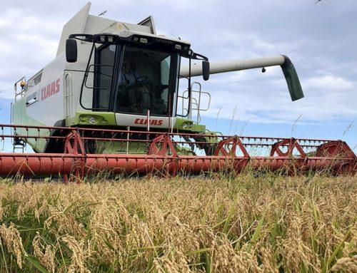 La campanya de la sega de l'arròs d'enguany al delta de l'Ebre superarà els 130 milions de quilos