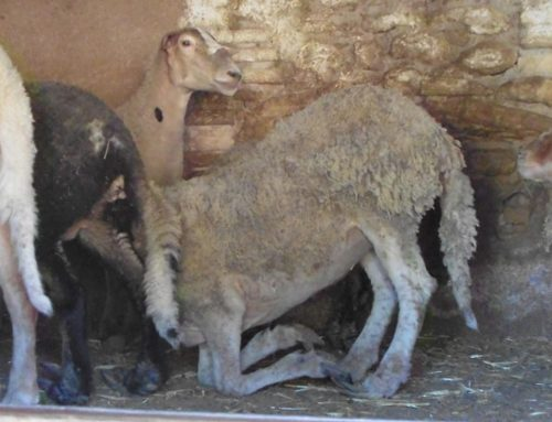 Els Mossos denuncien el propietari d'una granja de corders de Xerta per les males condicions sanitàries dels animals i les instal·lacions