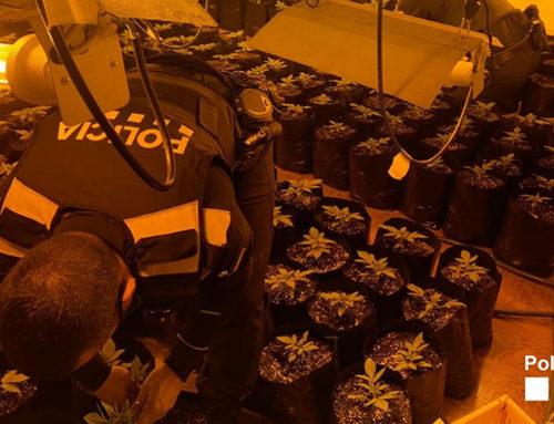 La Policia Local d'Amposta desmantella una plantació de marihuana en un immoble a la partida Tosses