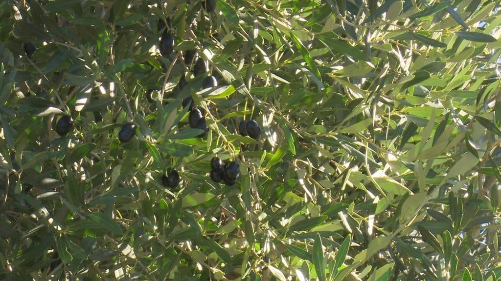 Olives d'oliveres d'un camp de la Pobla de Massaluca