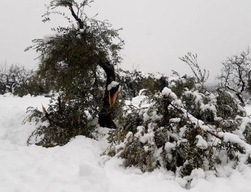 Unió de Pagesos alerta de danys molt importants en camps d'oliveres de la Ribera d'Ebre i la Terra Alta