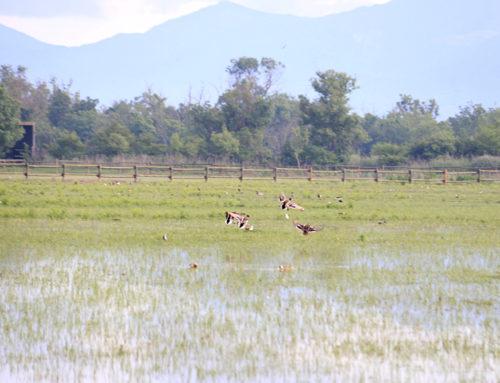 Detecten el virus de la grip aviària en tres cigonyes i una oca salvatge als Aiguamolls de l'Empordà