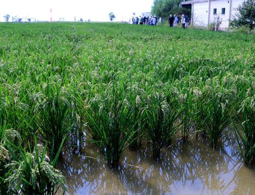 Unió de Pagesos reclama que s'autoritzi excepcionalment un fitosanitari per a l'arròs