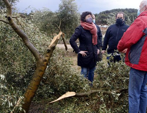 La consellera Jordà es compromet a buscar amb el sector de l'olivera solucions per recuperar el potencial productiu de les zones afectades pel temporal